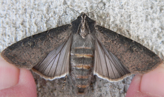 Pearly Underwing - Peridroma saucia
