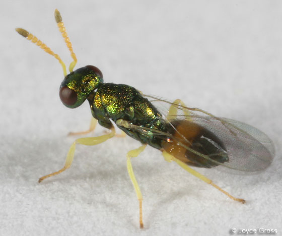yellow & green wasp - male