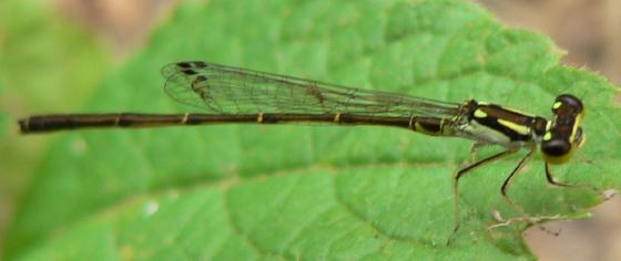 Fragile Forktail - Ischnura posita - male