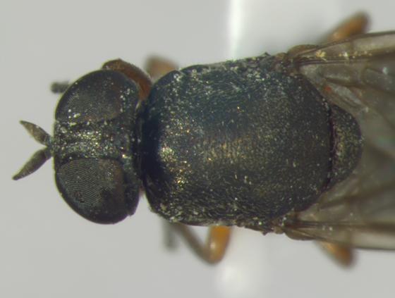 Scenopinidae, head & thorax - Scenopinus