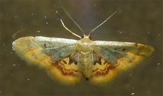 Tiny moth - Idaea scintillularia