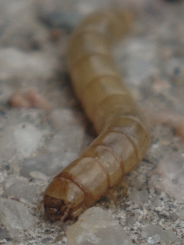 Larva--Moth?  Gelechioidea?