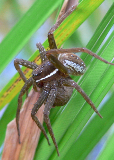 Six-spotted Fishing Spider - Dolomedes triton - female