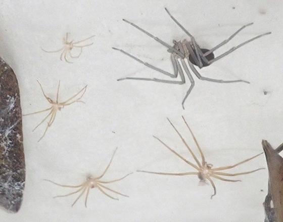 Loxosceles deserta - female
