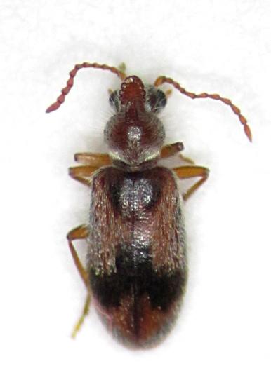 Notoxus - Notoxus desertus