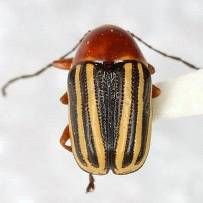 Bassareus lituratus (Fabricius) - Bassareus lituratus