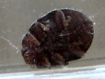Small, hairy beetle - Rhyzobius lophanthae
