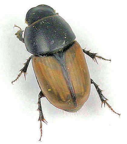 Scarabaeidae -? - Aphodius erraticus