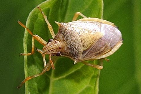 Rice Stink Bug For Illinois In July - Oebalus pugnax