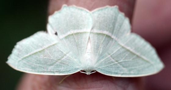 White Moth - Campaea perlata
