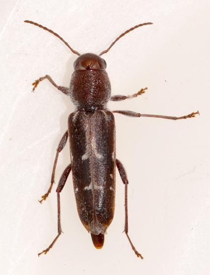 Arrowhead borer - Xylotrechus sagittatus - female