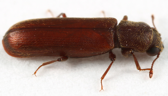 beetle - Lyctus brunneus