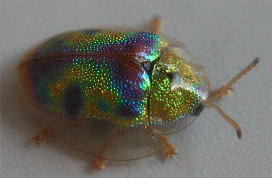 Iridescent tortoise beetle - Physonota calochroma