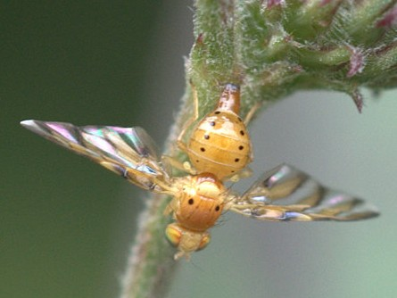 Small yellow fly.  Tachnid?  Flutter fly? - Tomoplagia obliqua