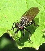 Robber Fly - Eudioctria media - female