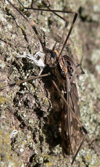 Giant Crane Fly - Tipula abdominalis