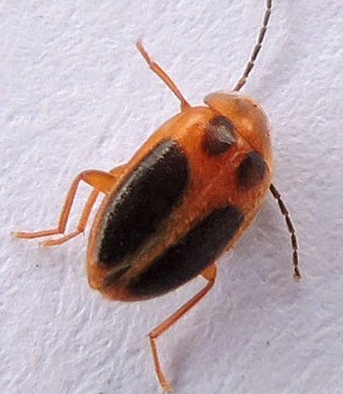 Pennsylvania Beetle  - Sacodes pulchella