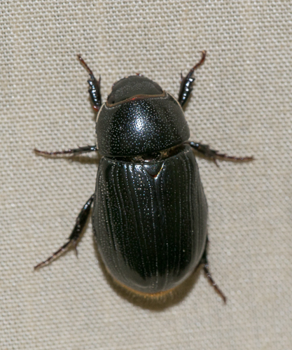 beetle - Dyscinetus morator - female