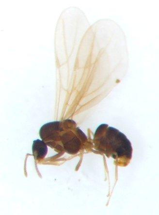 Ant 7 - Brachymyrmex - male