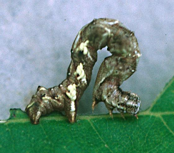 Scallop Moth larva - Cepphis armataria