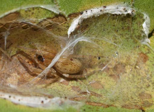 Spider from sycamore leaf