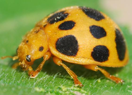 ladybug - Epilachna borealis