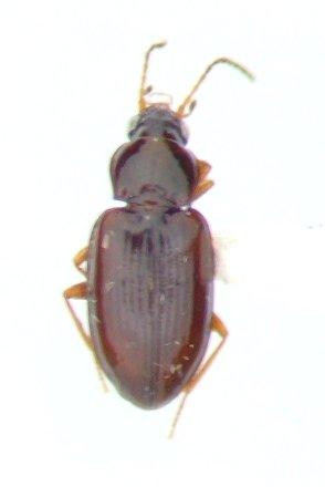 Elaphropus tripunctatus