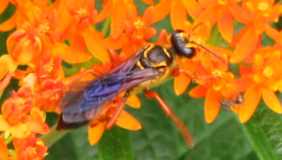 Great Golden Digger Wasp - Sphex ichneumoneus