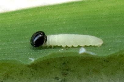 Umber Skipper larva - Poanes melane