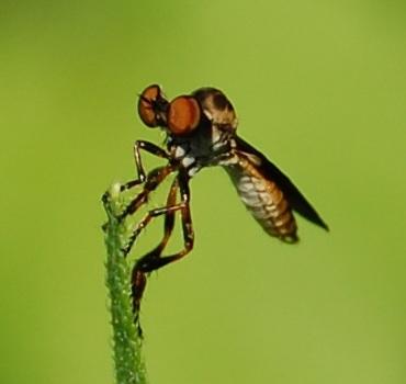 bug eyed fly - Holcocephala abdominalis