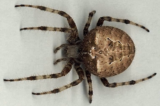 Cat-Faced Spider - Araneus gemmoides - female