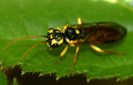 Sawfly, I think - Onycholyda sitkensis