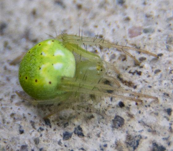 green orb weaver - Araneus cingulatus