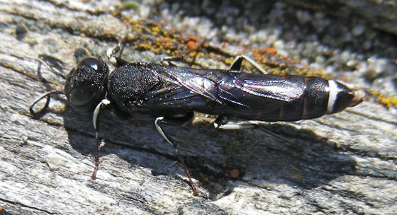 Parasitic Wood Wasp - Orussus - male