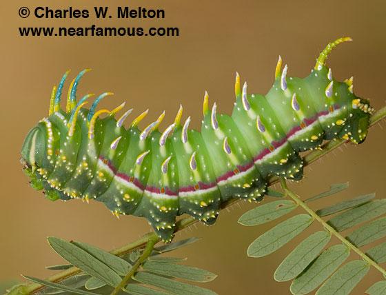 Larva Day 36. - Syssphinx raspa