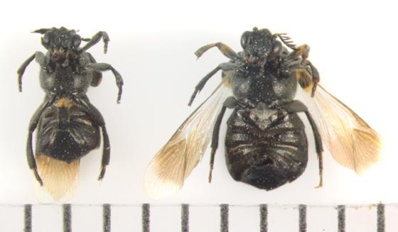 Ripiphoridae, ventral - Ripiphorus