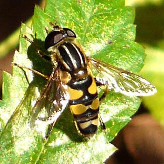 One Big Fly - Helophilus fasciatus - male