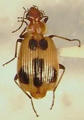 Lebia histrionica