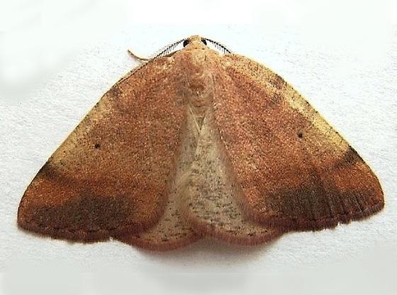 Nevada Drepanulatrix Moth - Drepanulatrix nevadaria - male