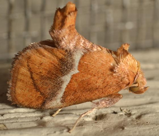 Limacodidae - Lithacodes fasciola