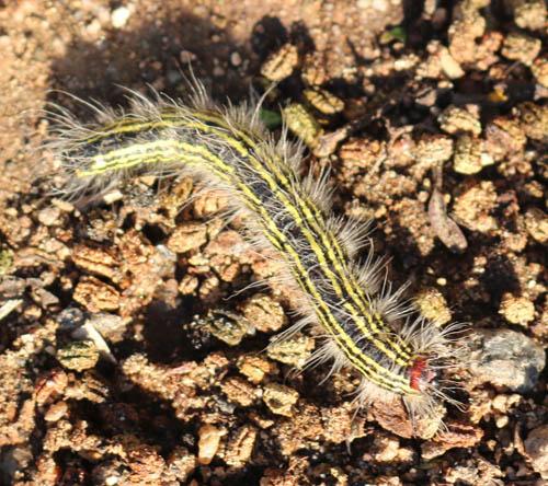 Yellow Neck Caterpillar ?  - Datana perspicua