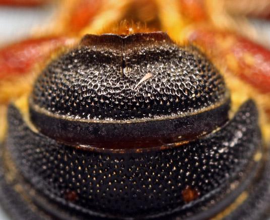 abdomen dorsal apex - Anthidiellum perplexum