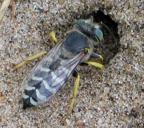 sand wasp - Bembix americana