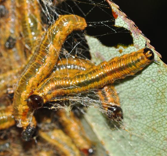 Sawfly larvae, 7 days later - Neurotoma