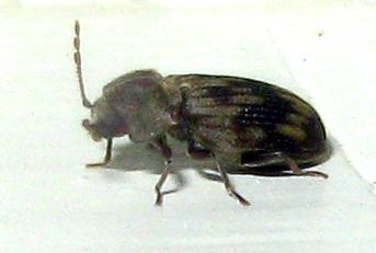 Beetle - Hadrobregmus notatus