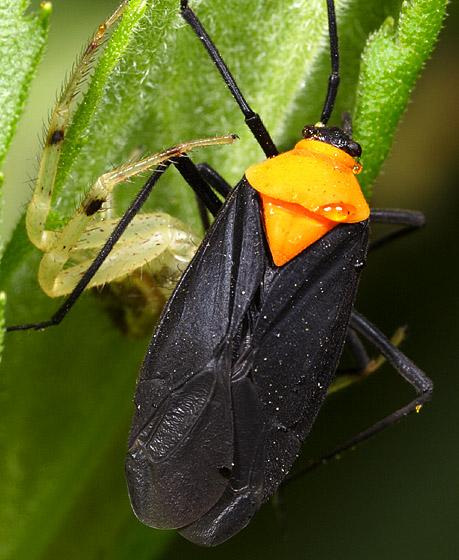 Bug ID - Prepops insitivus