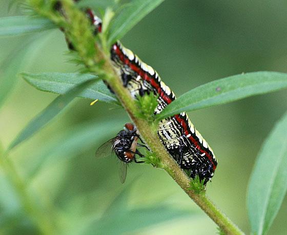 Tachnid? and caterpillar - Cucullia convexipennis