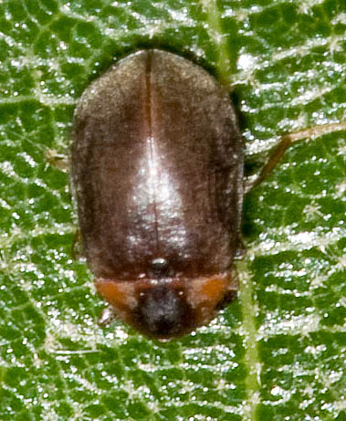 Beetle from Charles City County - Ectopria nervosa