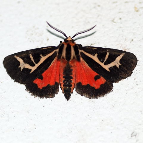 Figured Tiger Moth ? - Apantesis figurata
