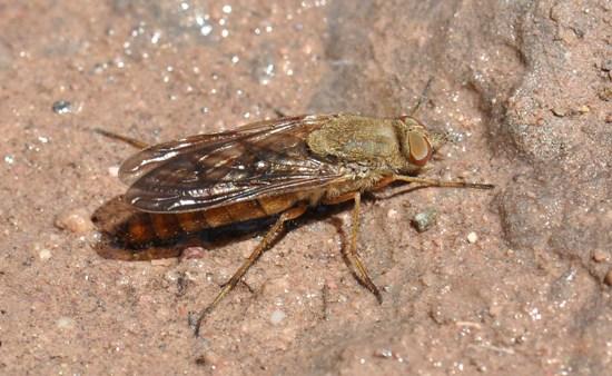 Stiletto Fly - Breviperna placida